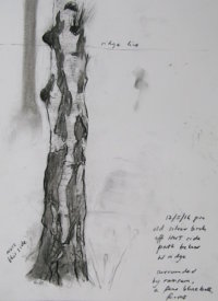 May - old silver birch
