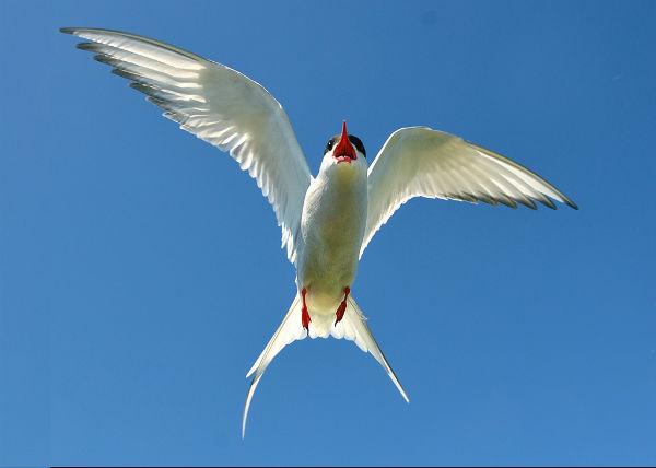 Agressive Arctic Tern