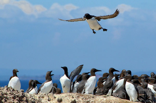 Guillemot returning with fish