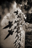 Gravestone and ivy