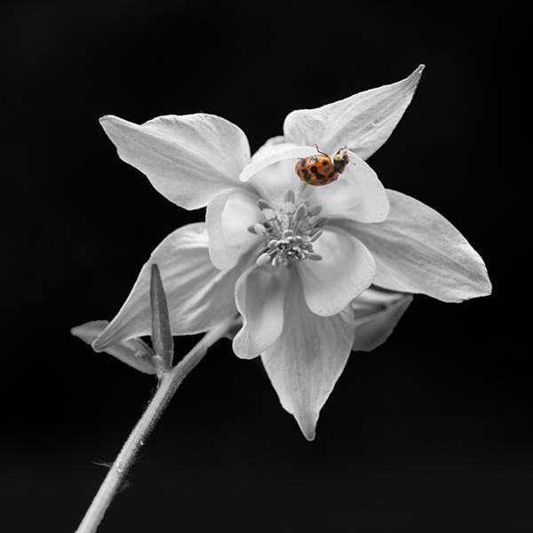 21 spot ladybird