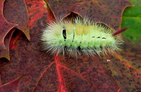 Pale Tussock Moth Larva