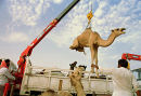 A camel is lifted onto a truck by its new owner at a camel market outside Riyadh, Saudi Arabia. 1997.