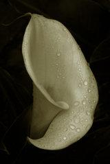 Zantedeschia (Arum lily)