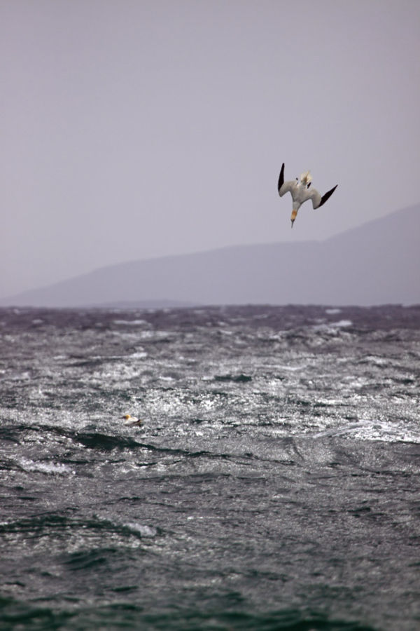 Diving Gannet Traigh Hushinish