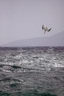 Diving Gannet Traigh Hushinish