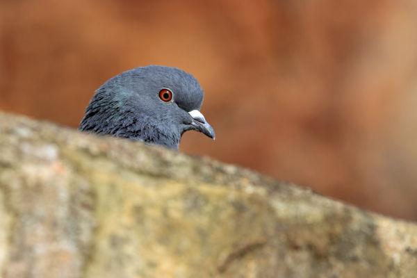 Crail Harbour Pigeon