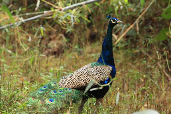 Peacock Parading