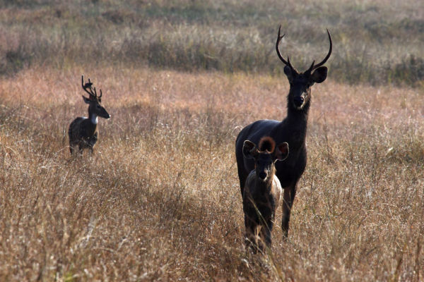 Sambar Deer Family