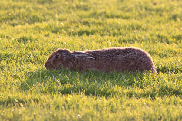 Hare Playing Dead....