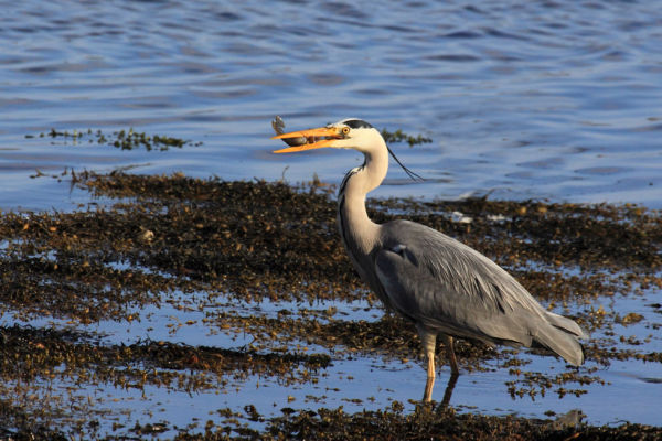 Grey Heron with Victim