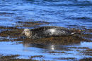 Common Seal with the Sun on his Back