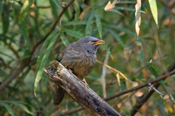 Jungle Warbler