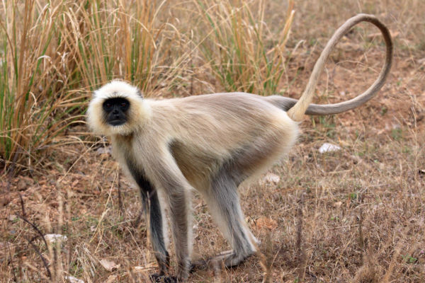 Young Gray Langur Monkey