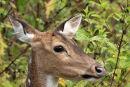 Female Sambar Deer