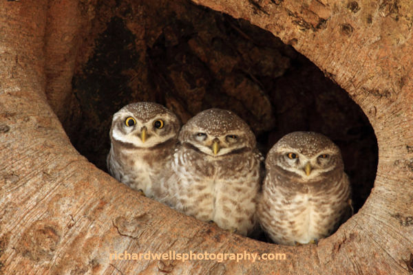 Roosting Spotted Owlets