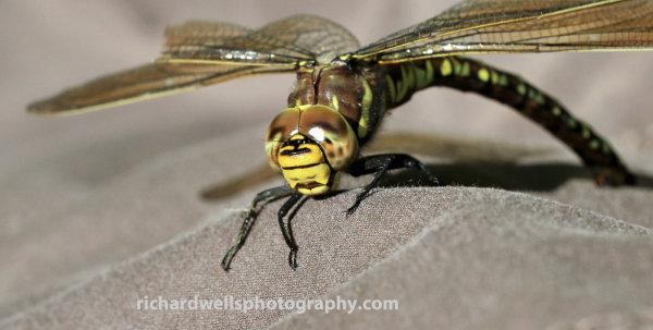 Dragonfly resting, Saltoun Wood