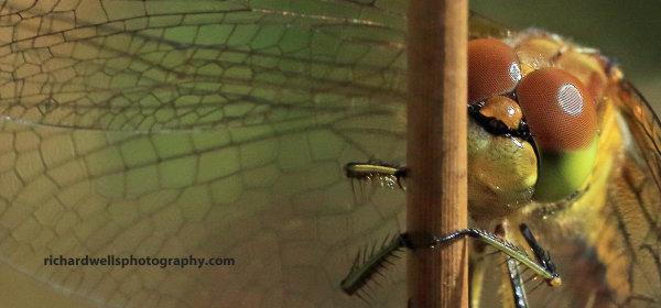 Dragonfly, Saltoun Wood.