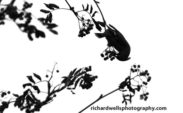 Silhouetted Waxwing