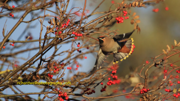 Waxwing Flight
