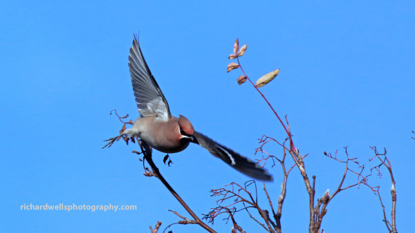 Waxwing in flight