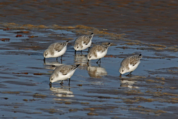 Sanderlings, Aberlady Bay