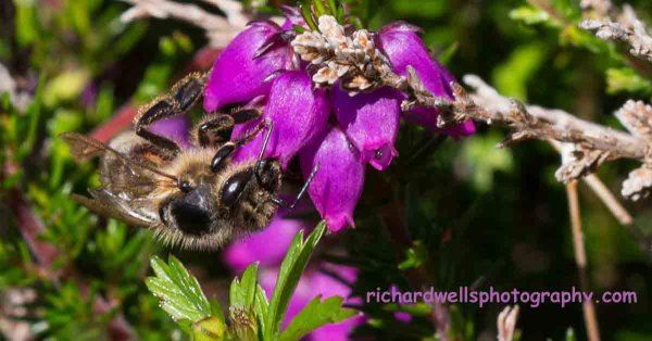 Bee on Bell Heather
