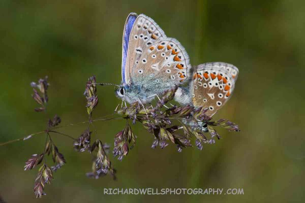 Common Blues Mating, Achmelvich
