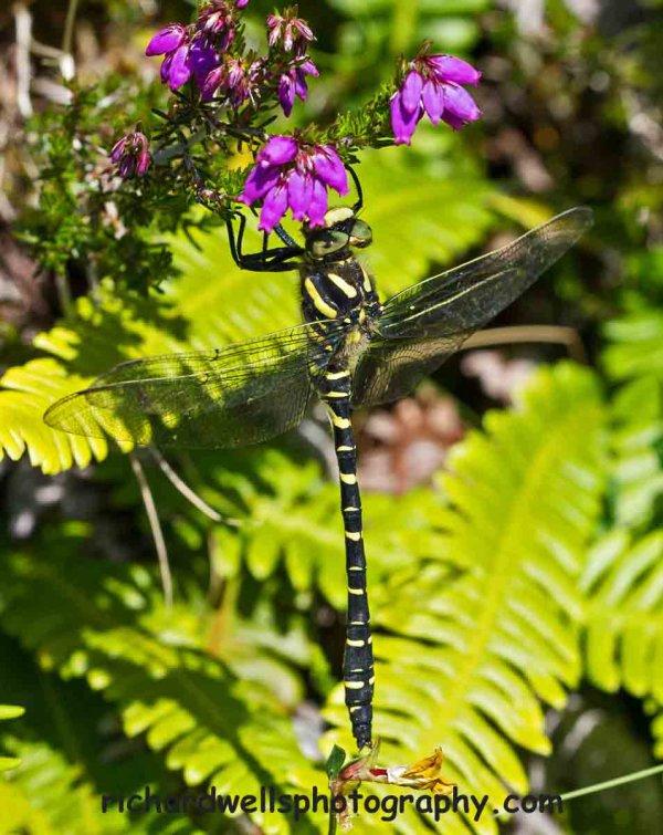 Golden Ringed Dragonfly on bell heather, Inverkirkaig