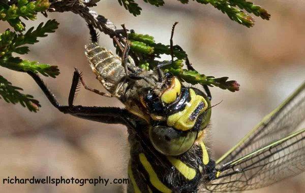 Dragonfly feeding, Inverkirkaig