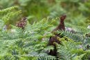 Red Grouse and Chick, Handa