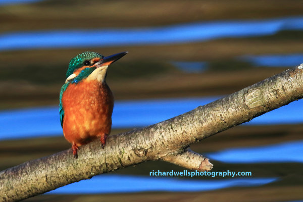 Kingfisher, Bawsinch
