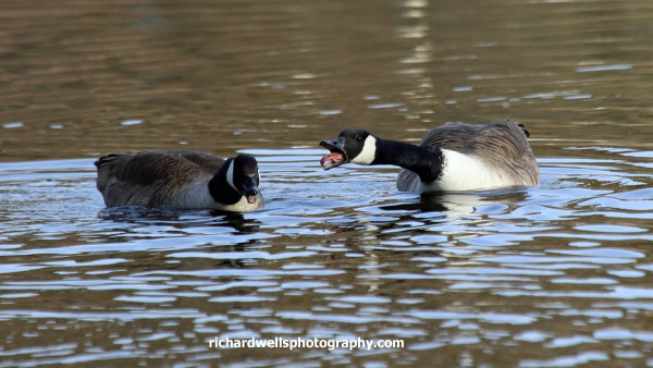 Canada geese, Duddingston loch