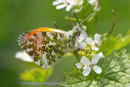 Orange Tip Butterfly, Bawsinch SWT reserve