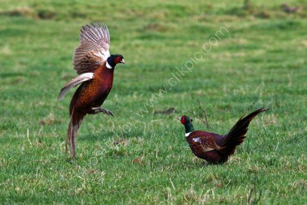 Exchanging Pheasantries....