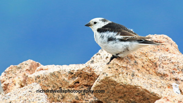 Snow Bunting, Cairngorm