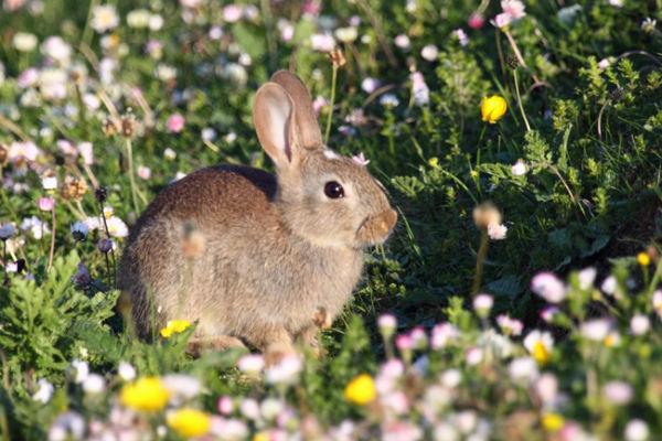 Machair Bunny