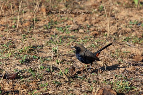 Indian Robin near Satpura