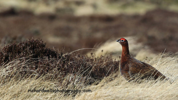 Red Grouse, Lammermuir Hills