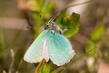 Green Hairstreak, Linn Dean, Scottish Wildlife Trust Reserve.