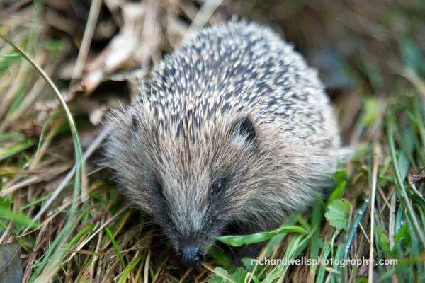 Hedgehog, Mull