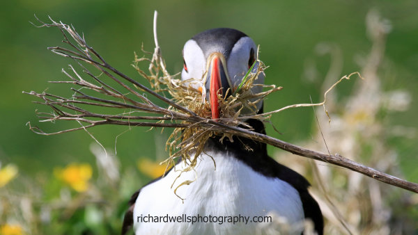 Puffin, gathering nesting material Lunga.