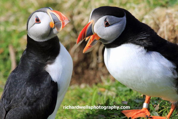 Puffins, Lunga (one of the Treshnish Islands off Mull)