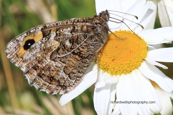 Grayling butterfly, Mull of Galloway