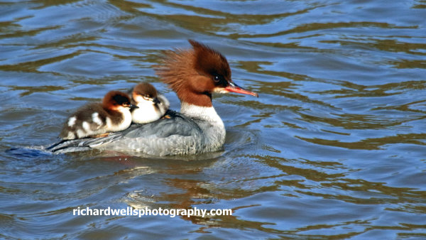 Goosander and chicks, river Esk, Musselburgh