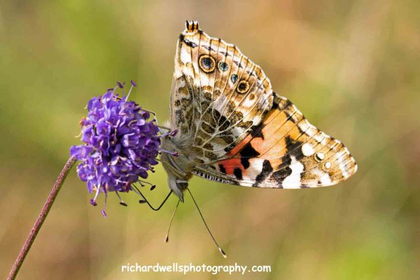 Painted Lady, Saltoun Wood