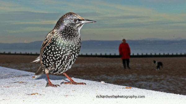 Starling on Frost Too
