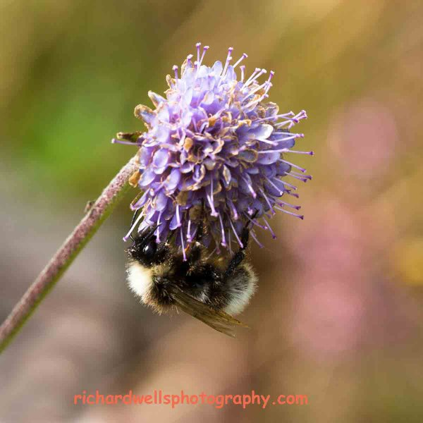 Bee under Devils Bit Scabious, Saltoun Wood.