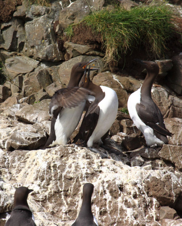 Guillemots, Isle of Lunga