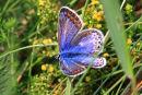 Female Common Blue